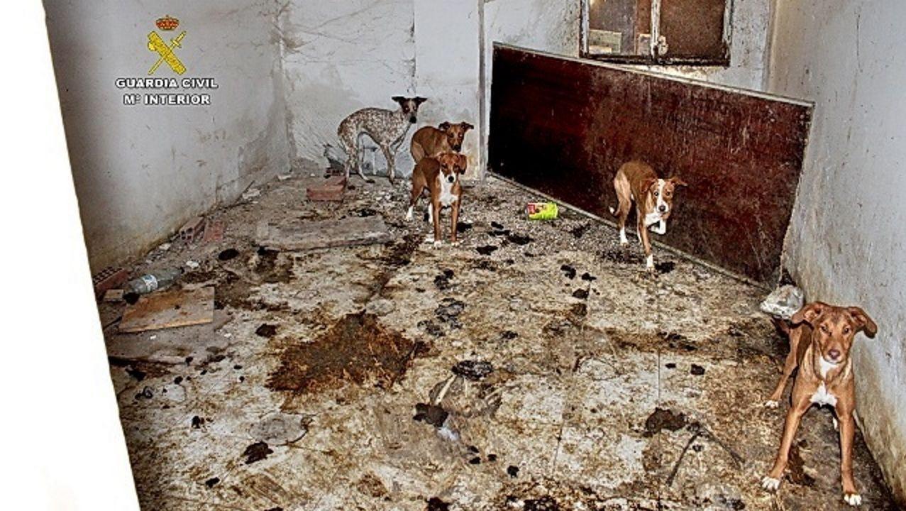 Lázaro fue el primer perro al que se le extrajo su ADN para ayudar a resolver un caso de maltrato animal en España..Carabina intervenida por la Guardia Civil