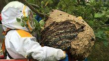 Retiran un nido de avispa asiática