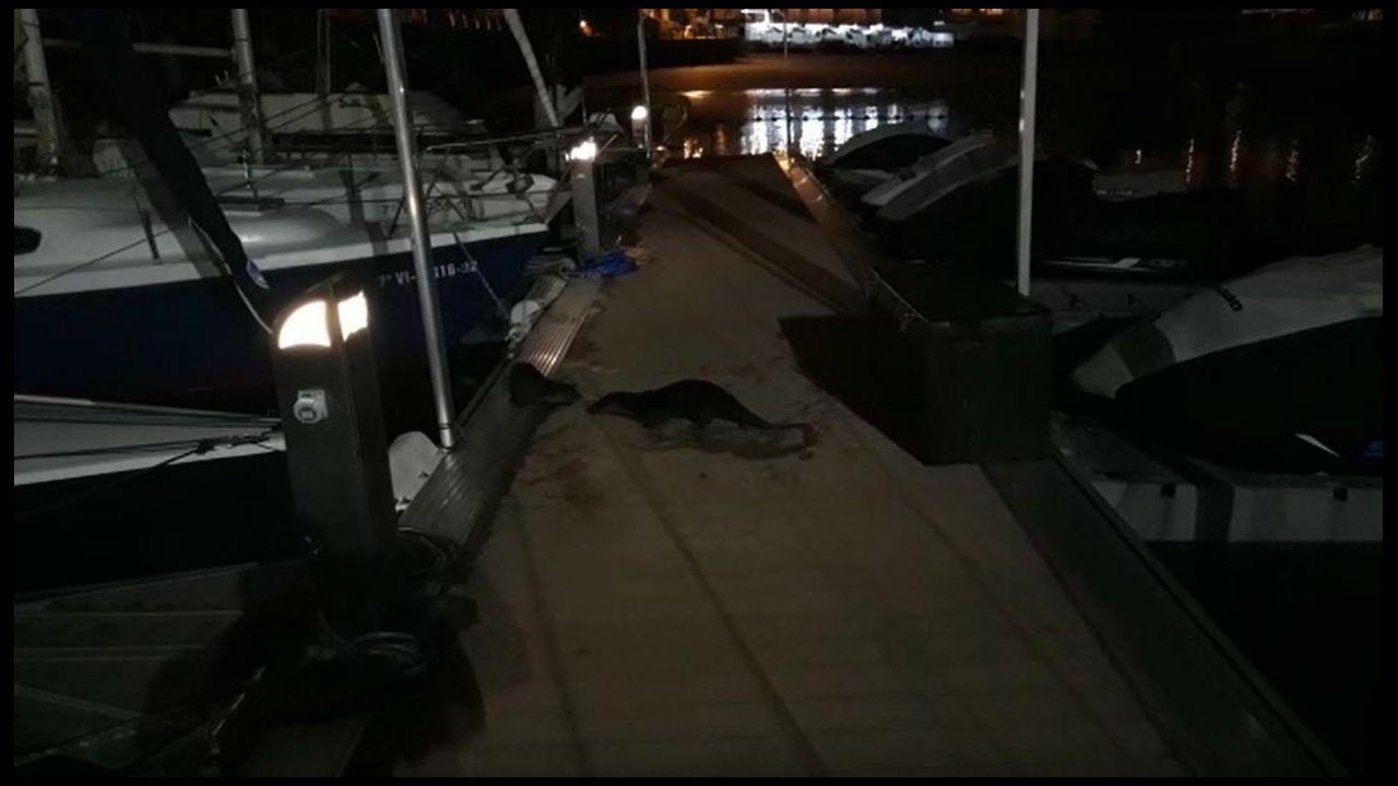 Las imágenes de la familia de nutrias que se dejan ver en el puerto de Sanxenxo