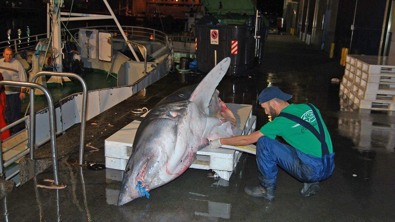 Un oceanógrafo midiendo un marrajo en Vigo, en una imagen de archivo