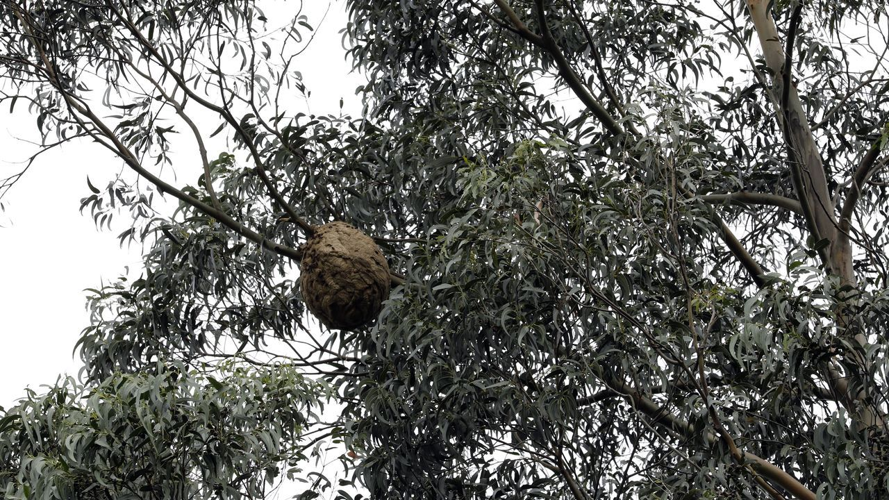 Retirada de un nido de avispa asiática en Gijón.Destruccion de un nido de velutina mediante el método de cremación