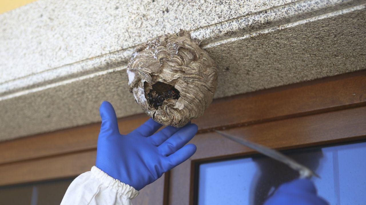 La alvariza de Barxas yla miel ecológica de Manuel Macía.Retiran de una vivienda un nido de avispa velutina