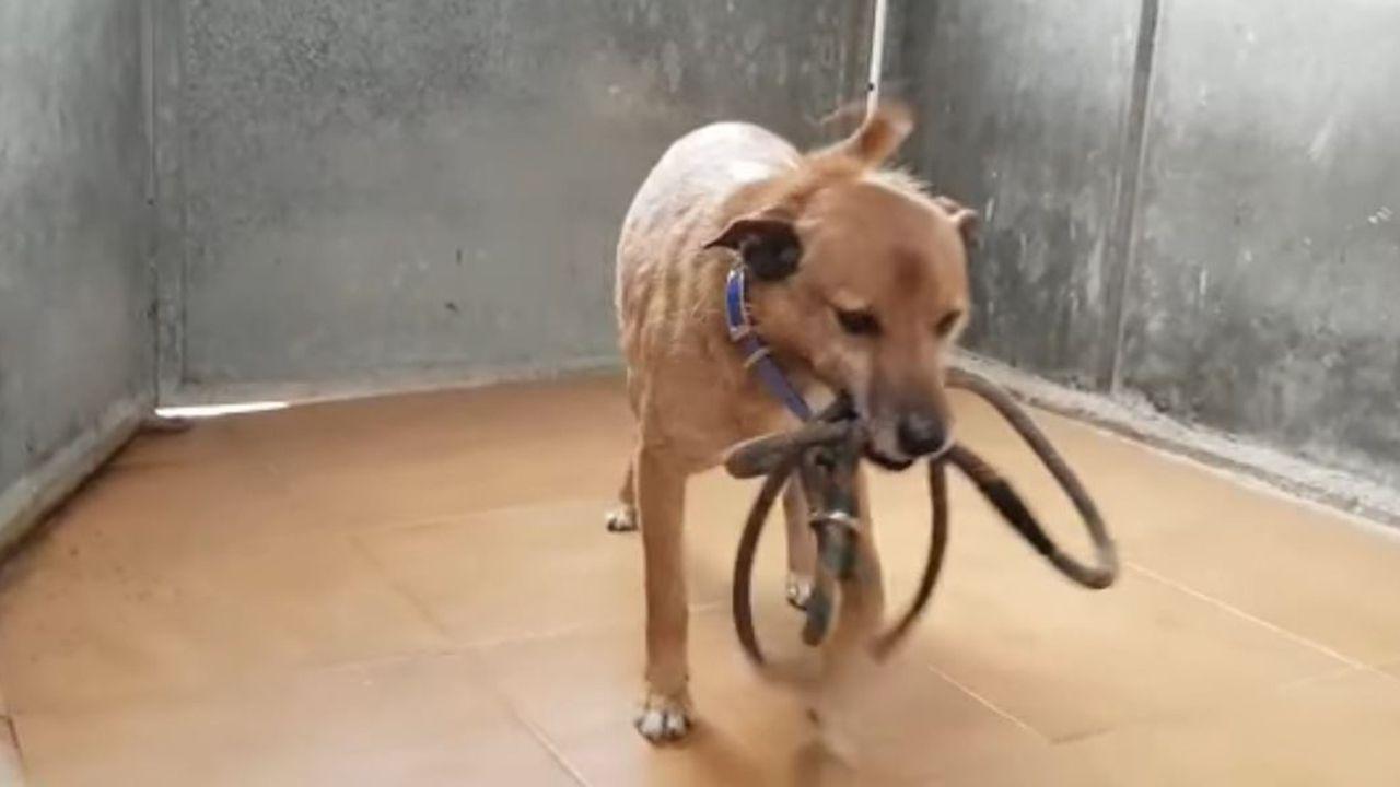 Louxor, el perro francés perdido en Oviedo