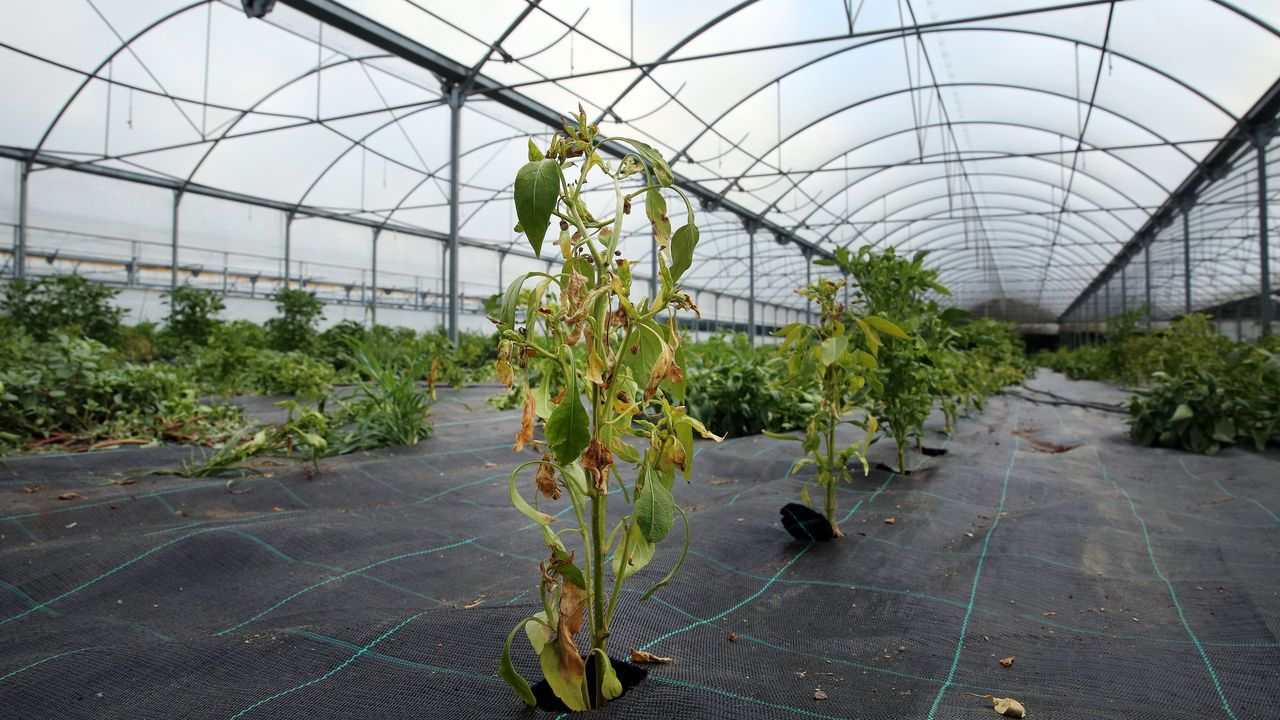 La alvariza de Barxas yla miel ecológica de Manuel Macía.Planta de pimiento de Padrón afectada por el virus del bronceado