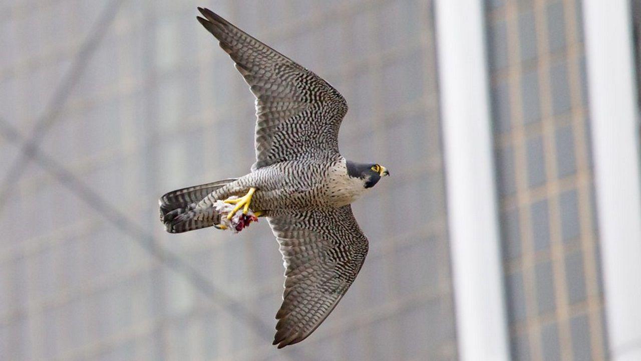 Un halcón peregrino entre los rascacielos de Nueva York