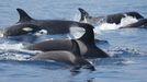 Las orcas que han interactuado con los veleros pertenecen a la población de orcas del Estrecho (en la imagen de archivo)