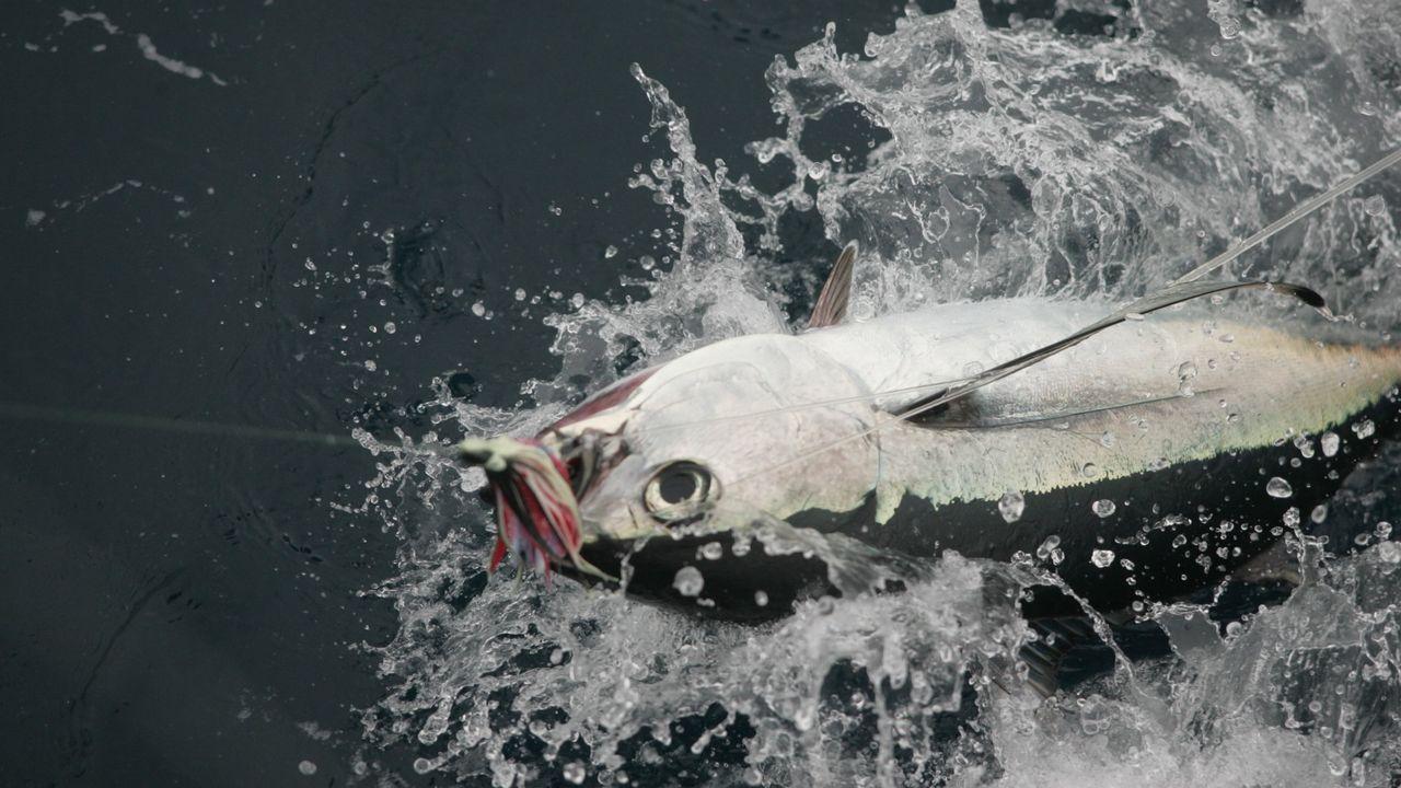 Un bonito del norte capturado por un barco gallego, en el momento de salir del agua para izarlo a bordo, en una imagen de archivo