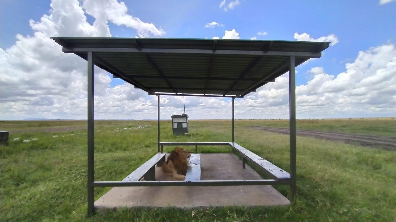 Un león recorre el aeropuerto de Masai Mara (Kenia), cerrado por el COVID-19, algo «no visto en 30 años»