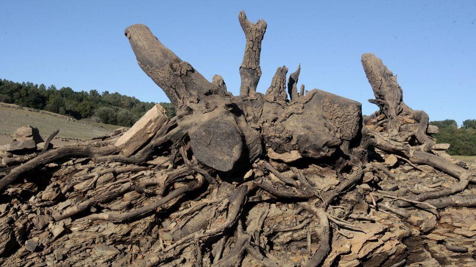 La raíz de un viejo árbol cortado todavía resiete encima de este muro, habitualmente cubierto por el agua en la cola del embalse más cercana al lugar de Hermida