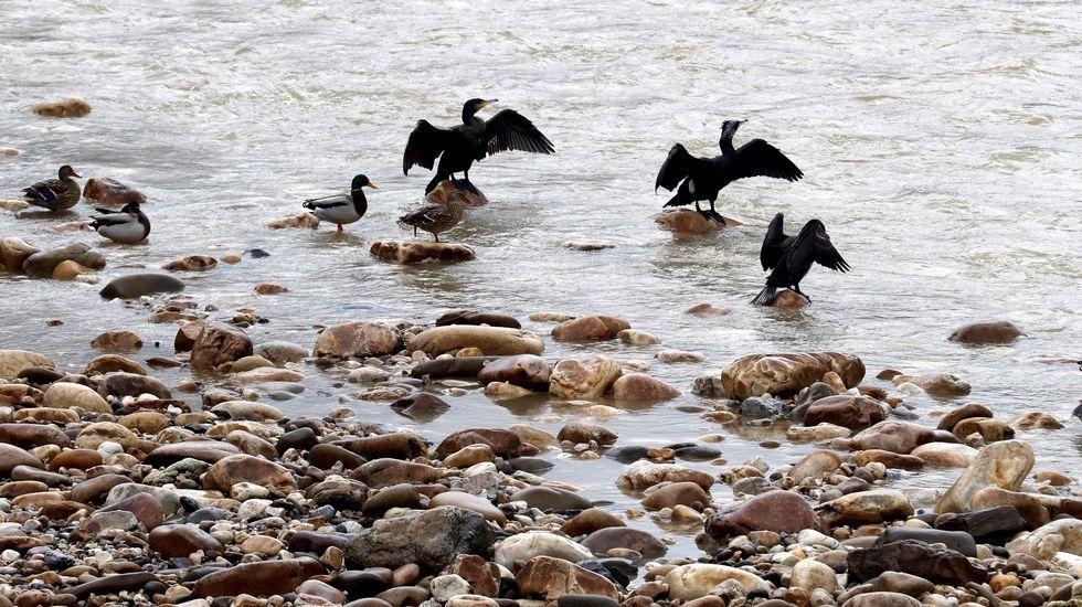 Golpe en Portugal a la venta de bivalvos contaminado.Cormoranes y Azulones hoy en el río Nalón a su paso por La Chalana en Laviana (