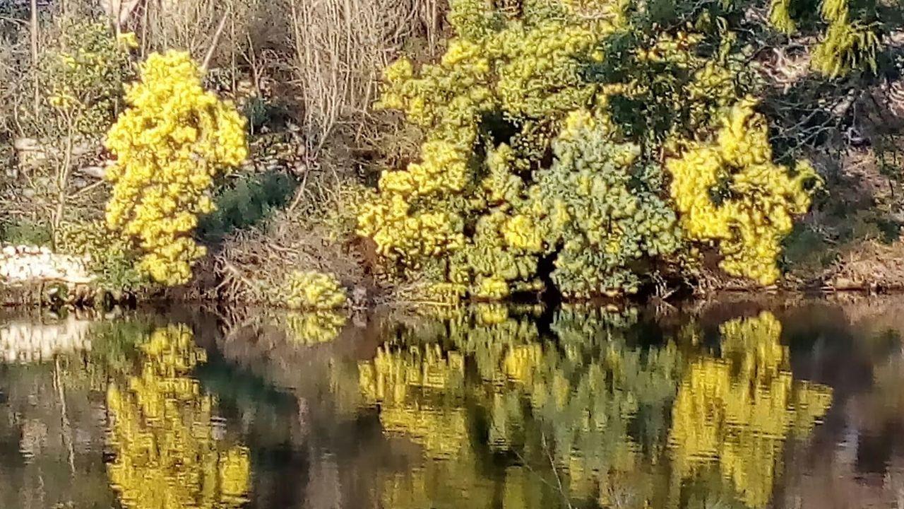 Las mimosas son unas de las plantas foráneas que más se han extendido por Galicia