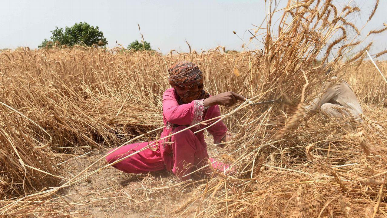 Un agricultor paquistaní siega cereales en las afueras de Lahore