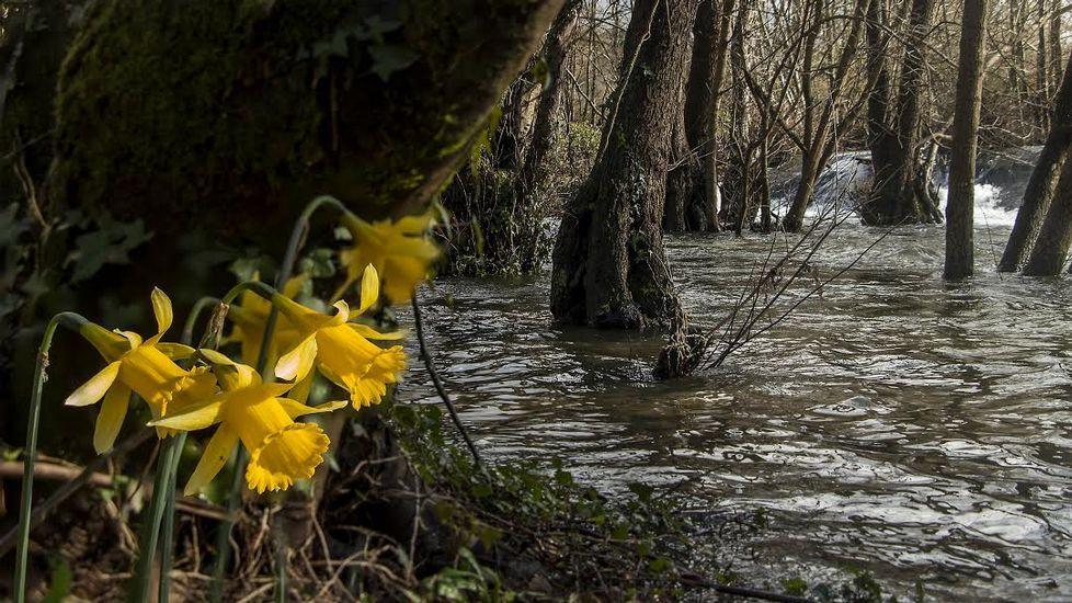 En las orillas del río es fácil ver ejemplares de narciso acampanado (Narcissus bulbocodium)