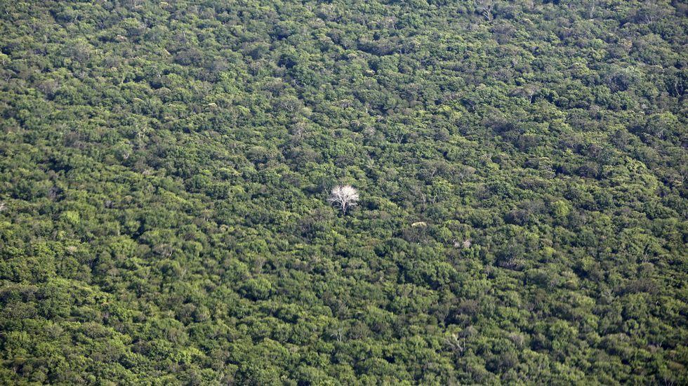 Un peculiar árbol con las ramas blancas en el medio del Amazonas