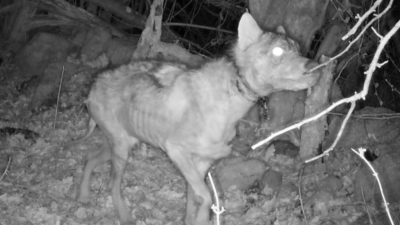 Lobo con restos de trampa en el cuello