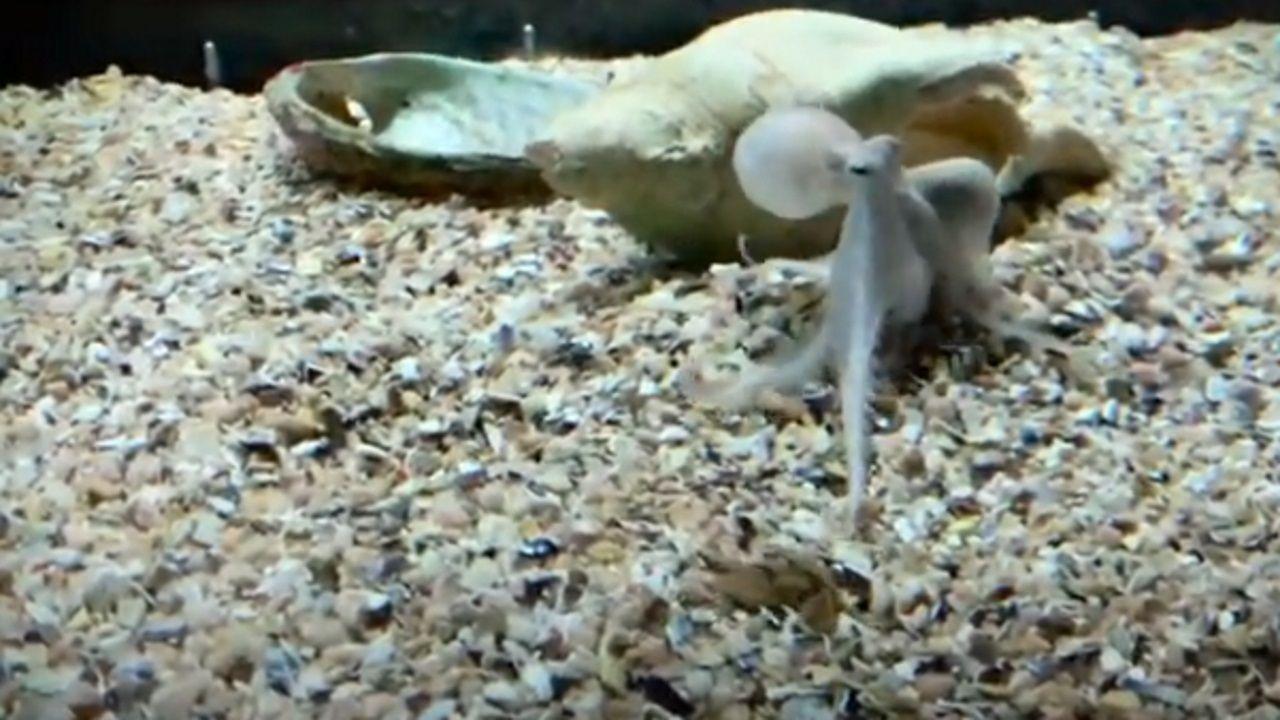 Pulpos criados en cautividad en el Aquarium Finisterrae.Uno de los bebés pulpo que pueden verse en el Aquarium Finisterrae, en A Coruña