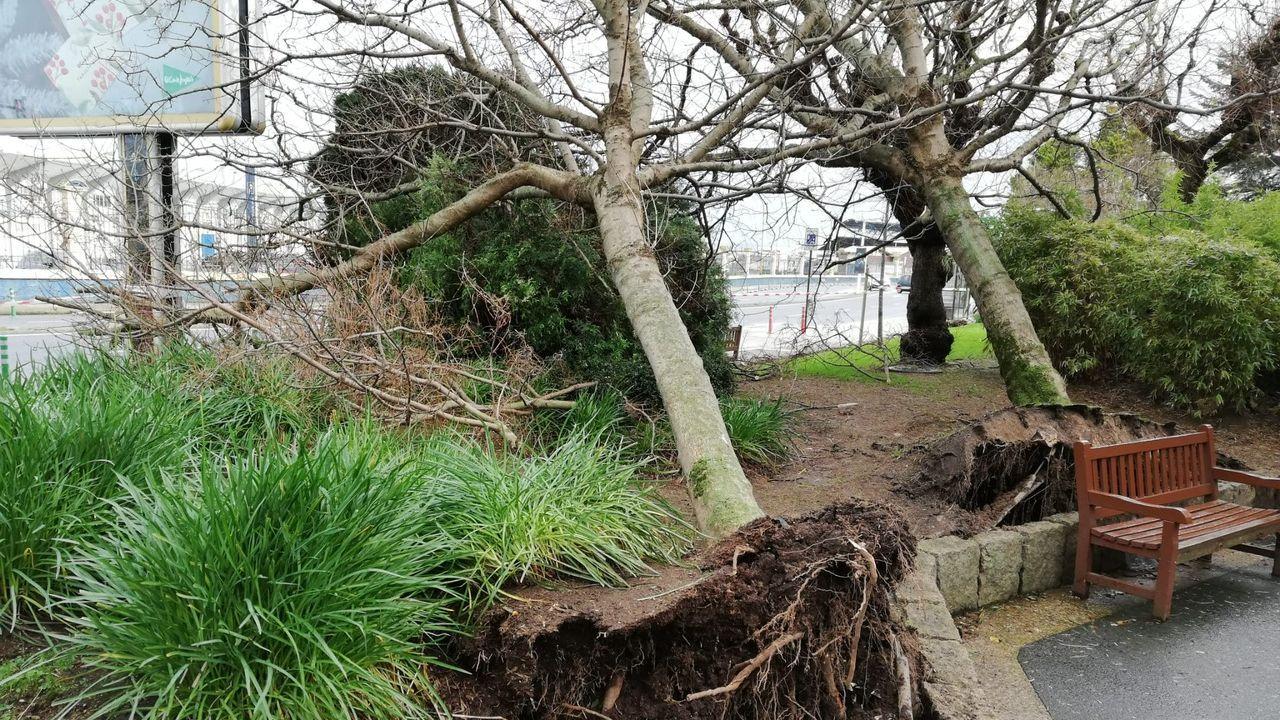 En A Coruña las rachas de viento arrancaron árboles en la plaza de A Palloza