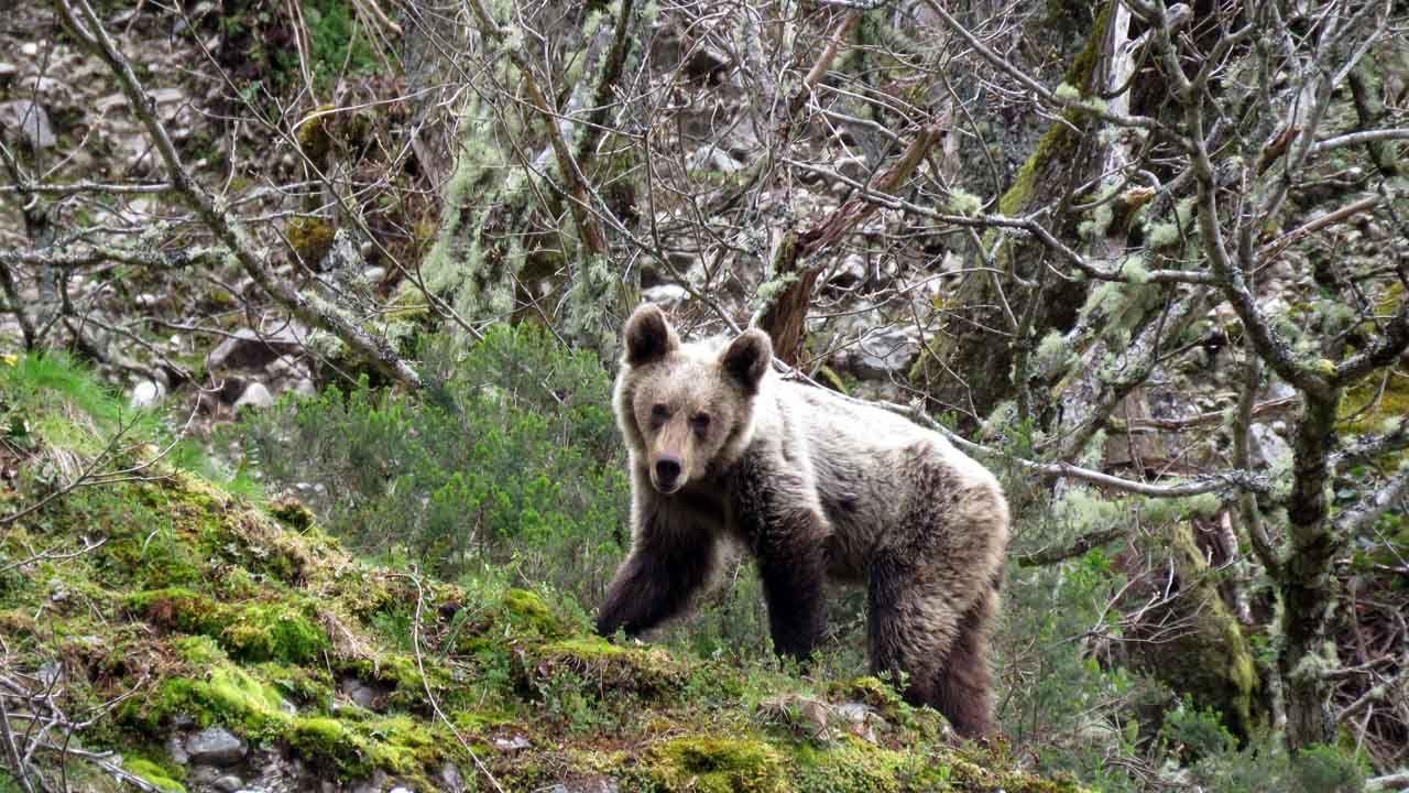 Un oso pardo cantábrico, en la cordillera