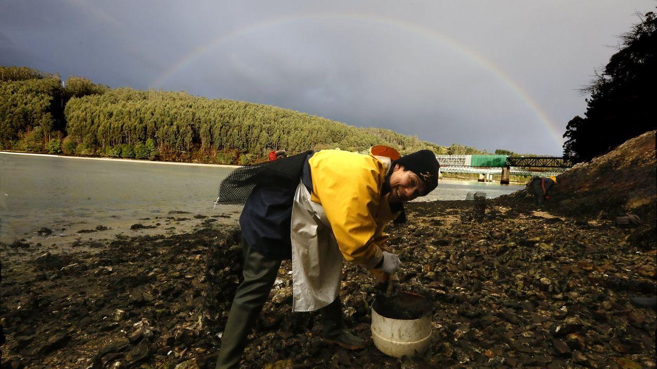 Una de las mariscadoras de la cofradía de O Vicedo, extrayendo ostra en la desembocadura del río Sor,  en imagen de archivo