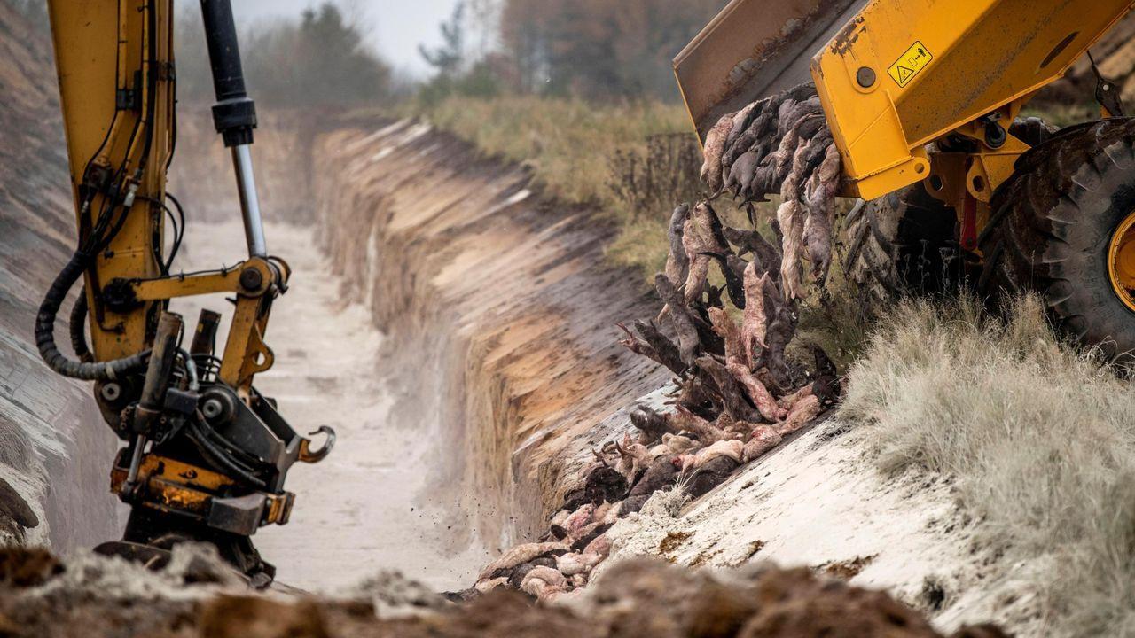 La mayoría de los animales fueron incinerados aunque una parte de ellos se enterraron en fosas comunes