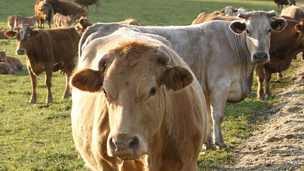 Chuletón de buey.Ejemplares de vaca de raza rubia gallega criadas para consumo de carne