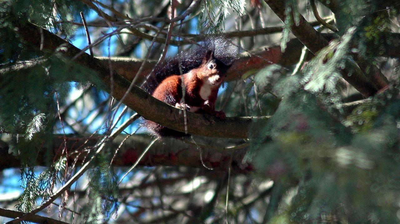 Una ardilla en el vivero forestal de Os Trollos, en Bóveda, donde se ofrecerán actividades