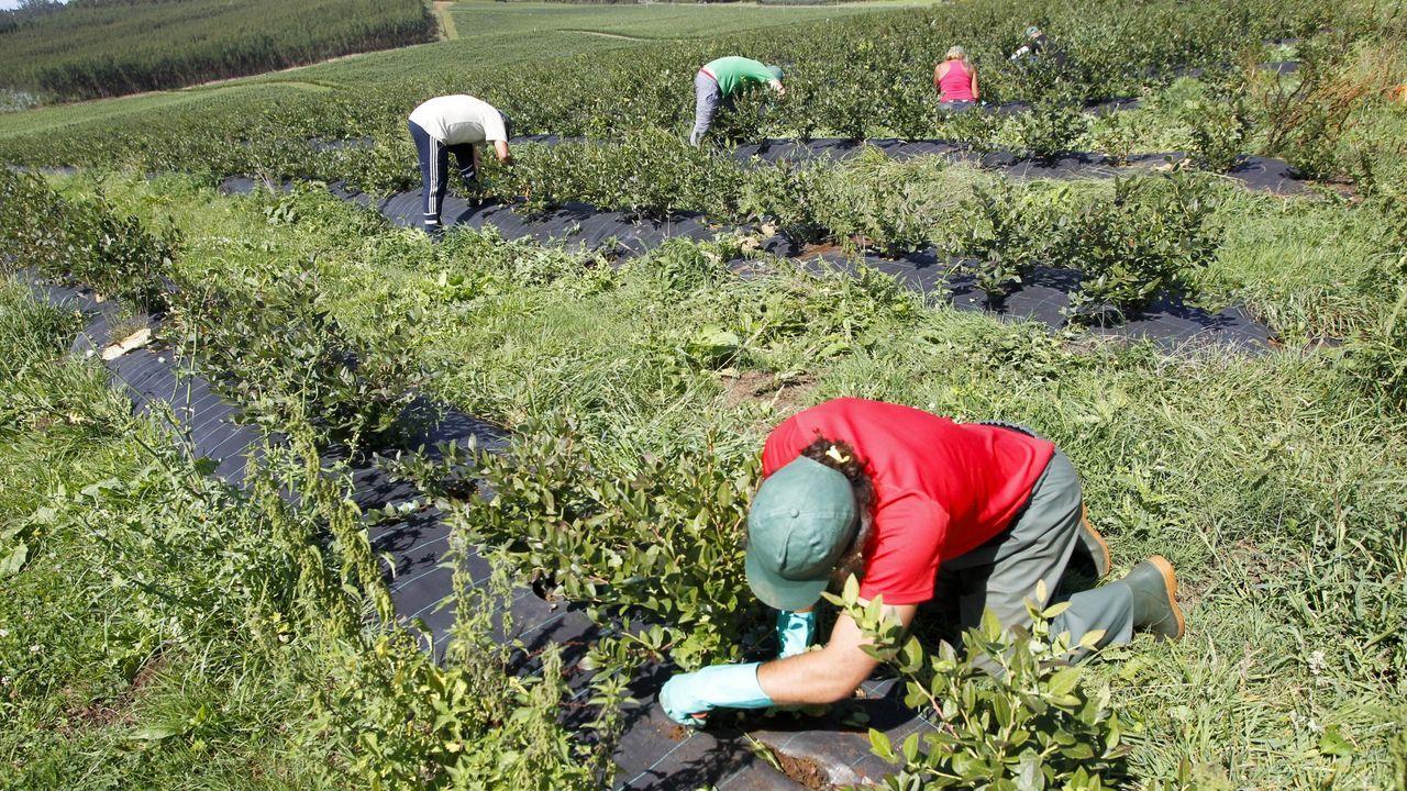 Plantación de arándanos en Horticina, en foto de archivo