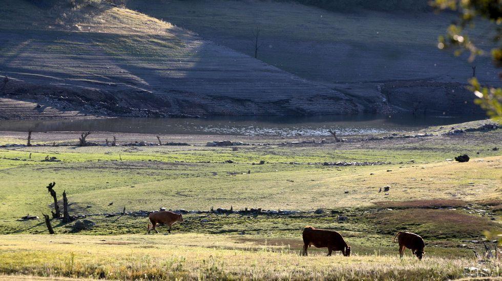 Unas vacas pastan cerca del lugar de Hermida, en lo que habitualmente es la cola del embalse, hoy seca por completo