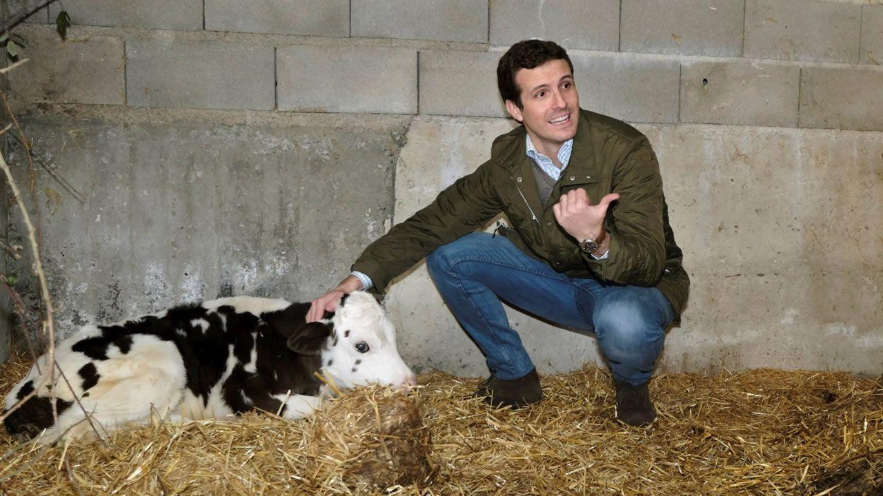 Pablo Casado acaricia un ternero en una granja de Zamora