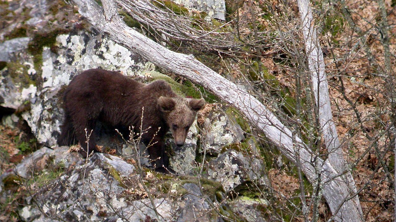 Imagen de archivo de un ejemplar de oso pardo en Os Ancares