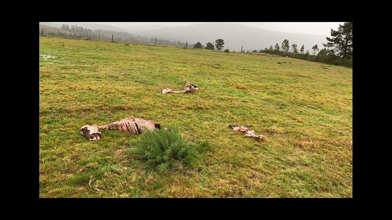 Vaca muerta por el ataque del lobo en la curota