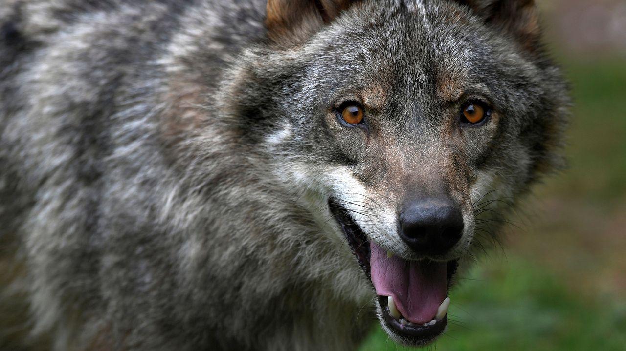 El lobo Aullador del recinto de la Casa del Lobo de Belmonte de Miranda