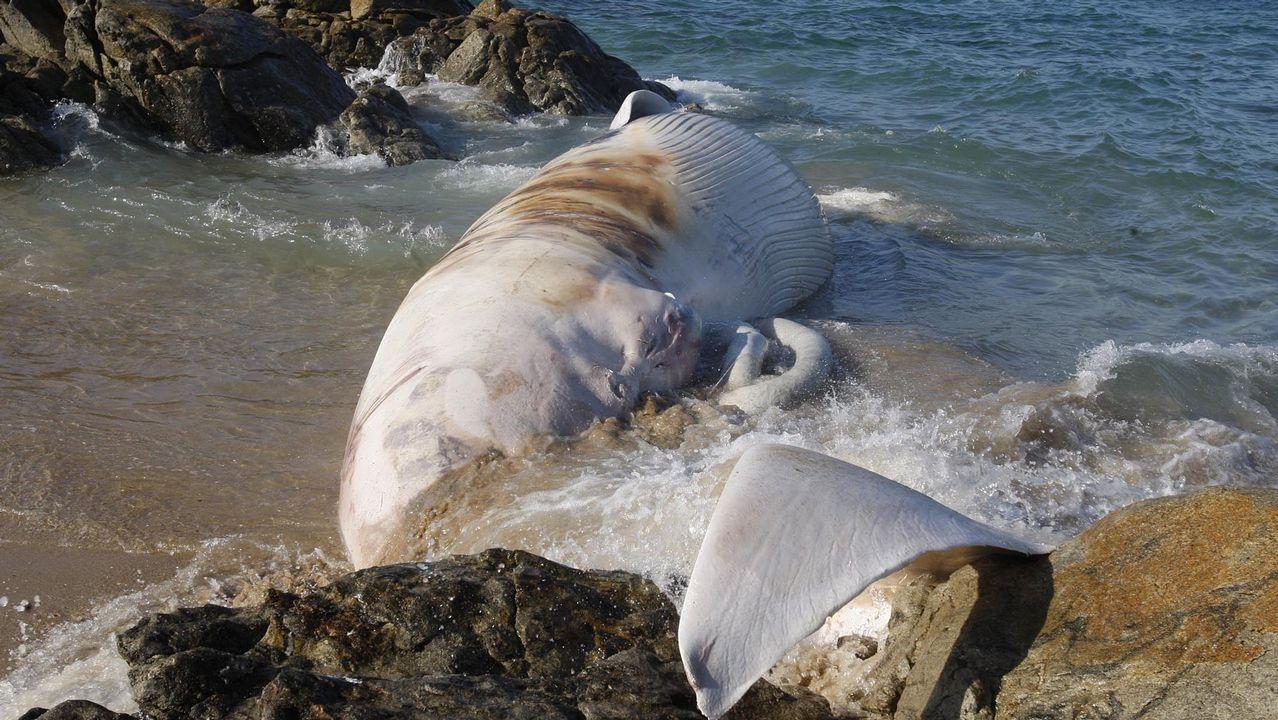 Una ballena entra en la playa de O Torno, en San Cibrao