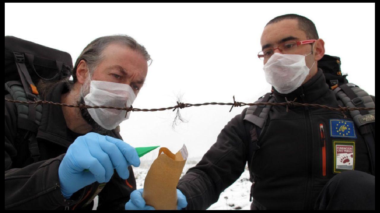 Técnicos de la Fundación Oso Pardo recogen una muestra de pelos de oso en la sierra de O Courel para realizar muestreos genéticos. Los trabajos de este tipo se harán ahora a una escala mucho mayor