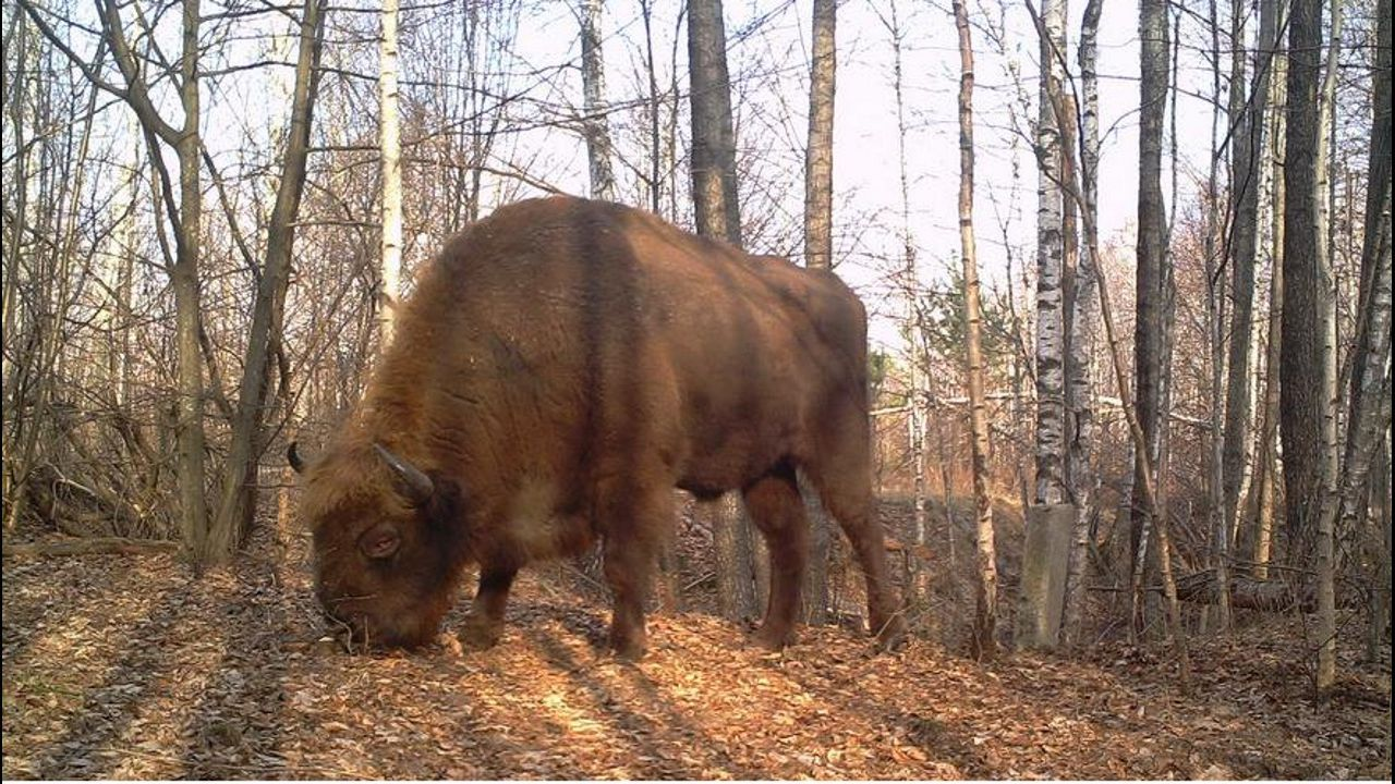 Bisonte europeo (Bison bonasus). Autor: TREE Project / Sergey Gaschack