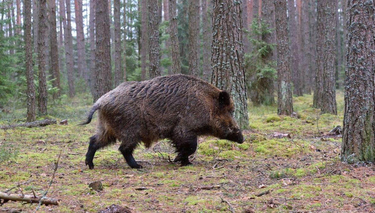 Cientos de ourensanos trabajan estos días en la recogida de la castaña