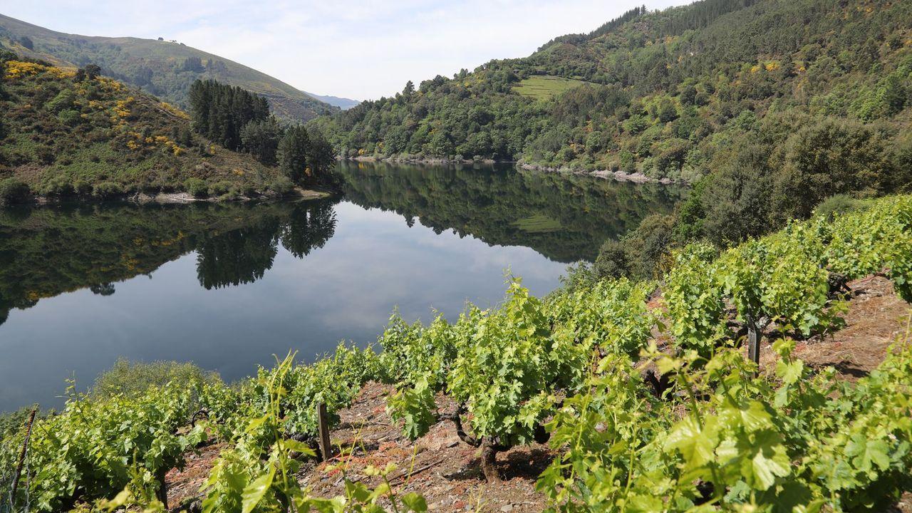 Viñedos en el municipio de Negueira de Muñiz, en la cuenca alta del Navia
