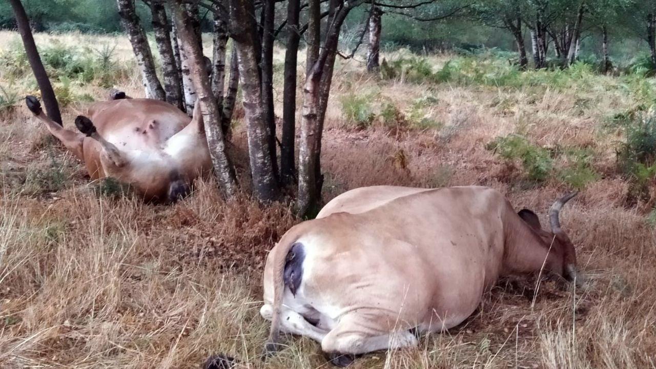 Las dos vacas estaban casi juntas y bajo unos árboles