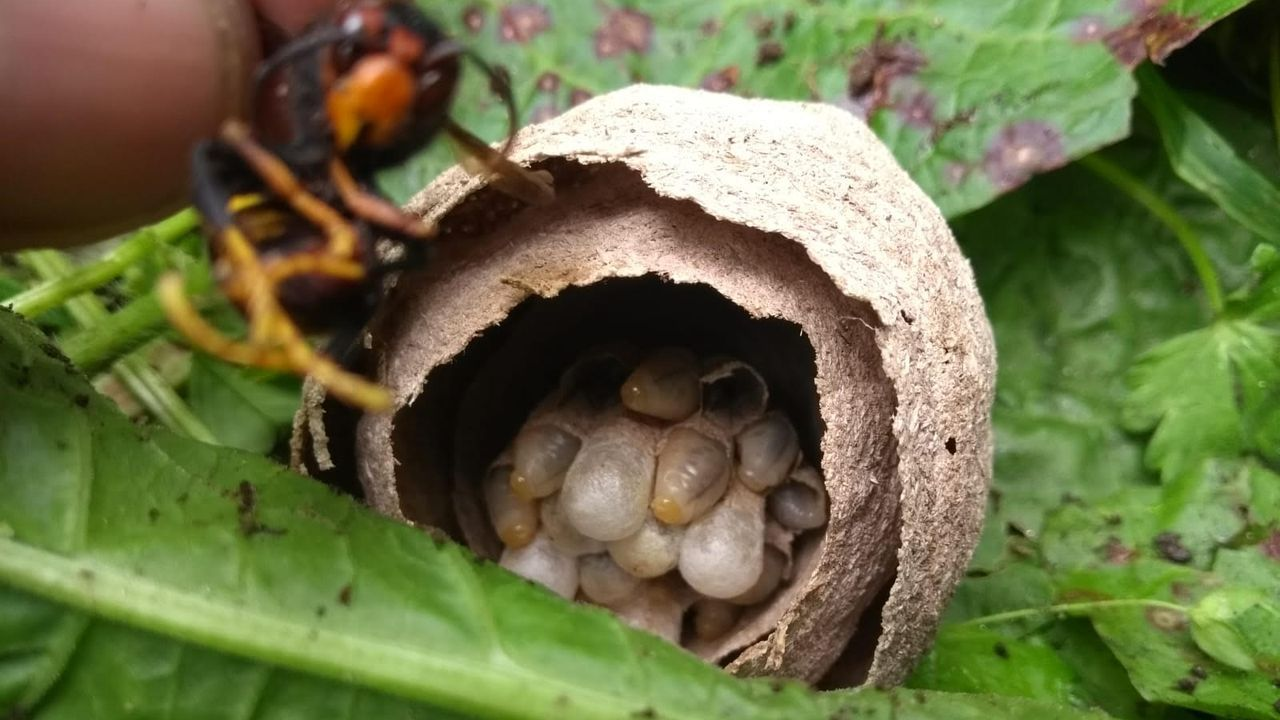 «El parque da un poco de pena, porque está sucio».La caza de las avispas reinas en los nidos primarios en clave para frenar la expansión de la especie