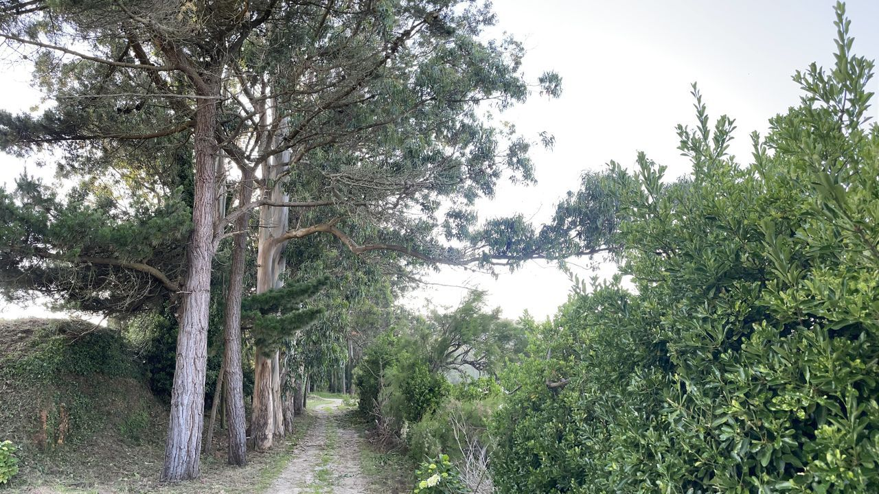 Los eucaliptos se encuentran en las inmediaciones del paseo marítimo cabanés, en Canduas.