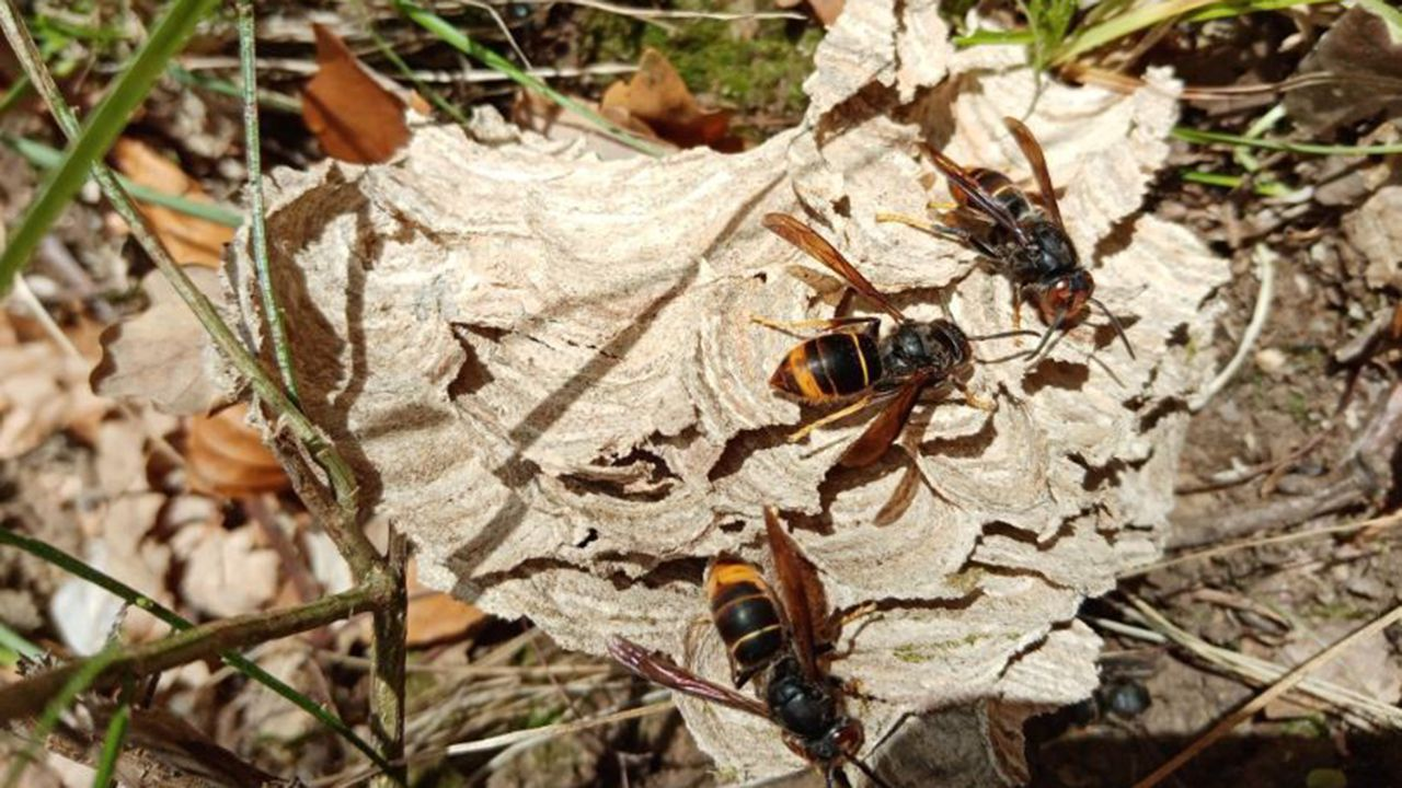 Restos del nido en el suelo con algunas de las avispas que sobrevivieron a la acción del oso