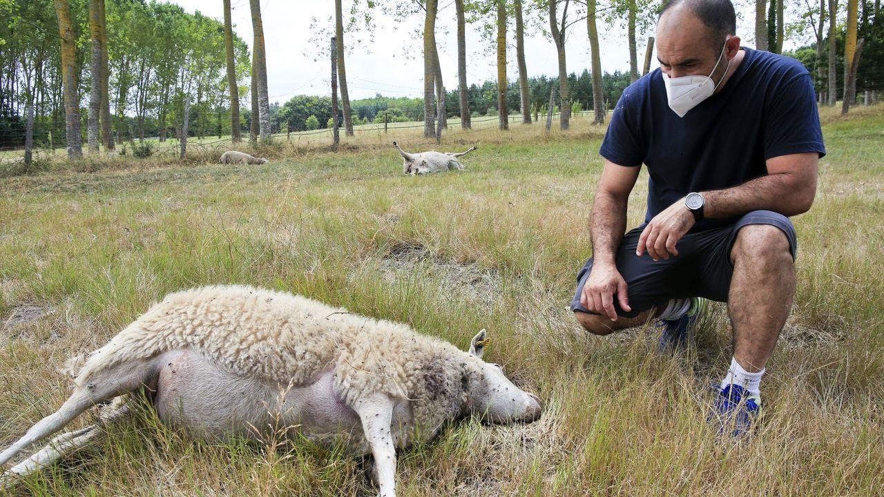 Borja Álvarez ha perdido 20 ovejas en el ataque del lobo