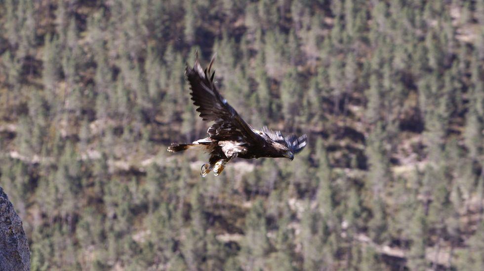El águila real es una de las especies que perjudicaría el parque eólico, según la SGO