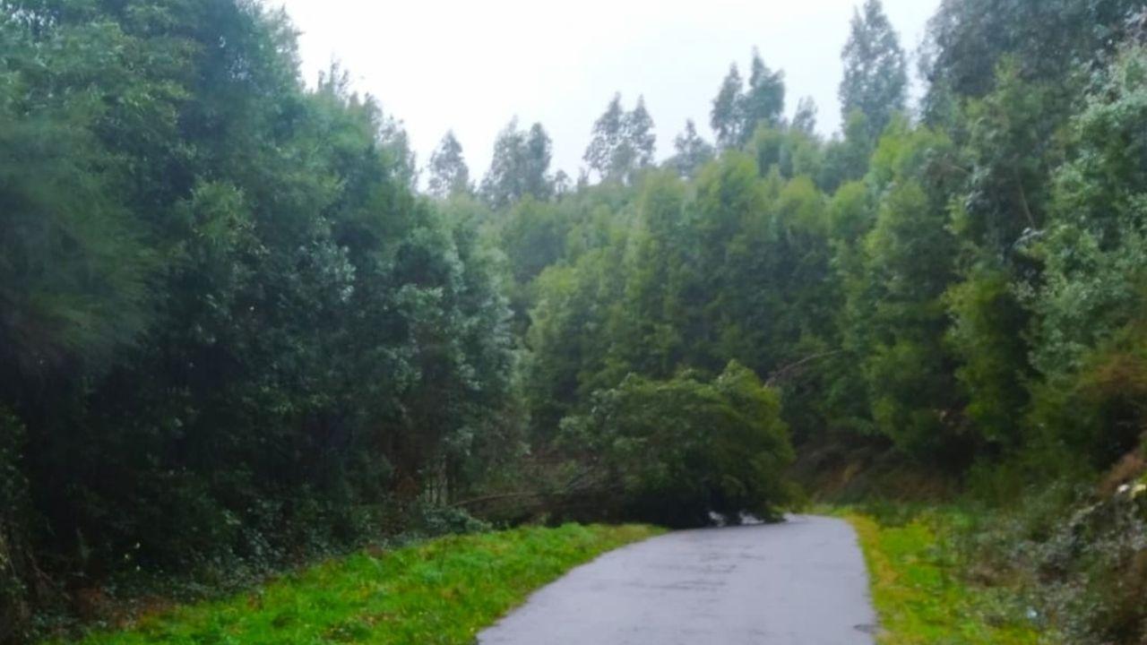 Árbol caído en Moraña