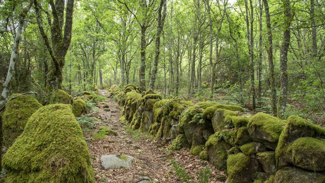 El tramo de la ruta entre A Campaza y Luíntra discurre en gran parte por un espeso bosque