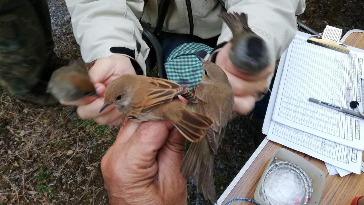Algunas de las aves capturadas en Bóveda por los ornitólogos para ser identificadas y anilladas