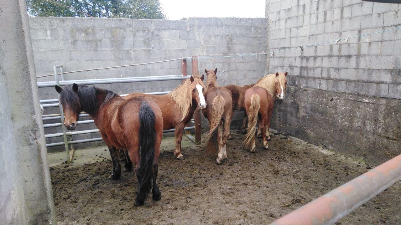 Caballos capturados en la parroquia de Grañas do Sor, en el municipio de Mañón, el 23 de febrero