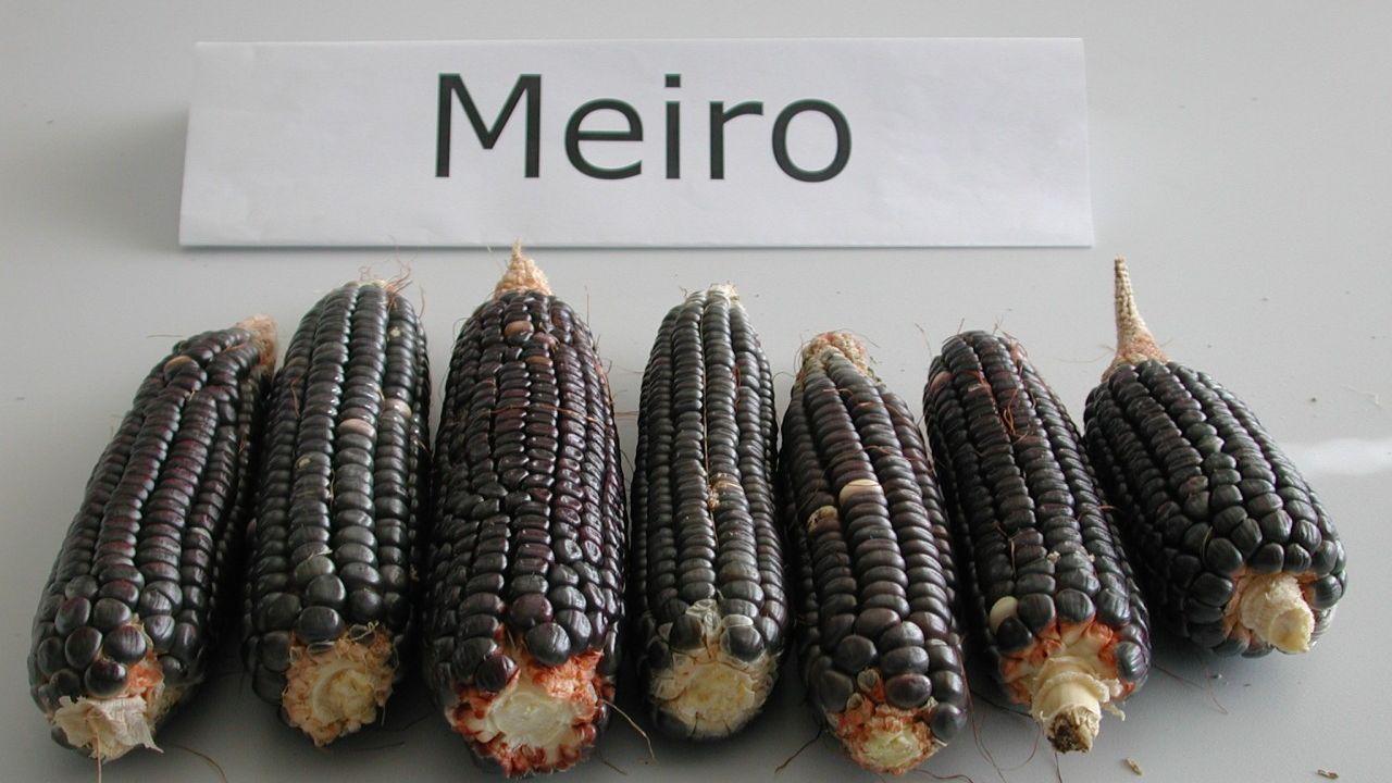 El grupo de leguminosas recuperó 98 variedades de maíz autóctonas. Entre ellas un tipo negro, denominado Meiro, además de generar maíz dulce