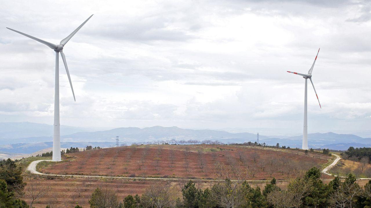 Las plantaciones de castaños se extienden entre los molinos de los parques eólicos en Padrela