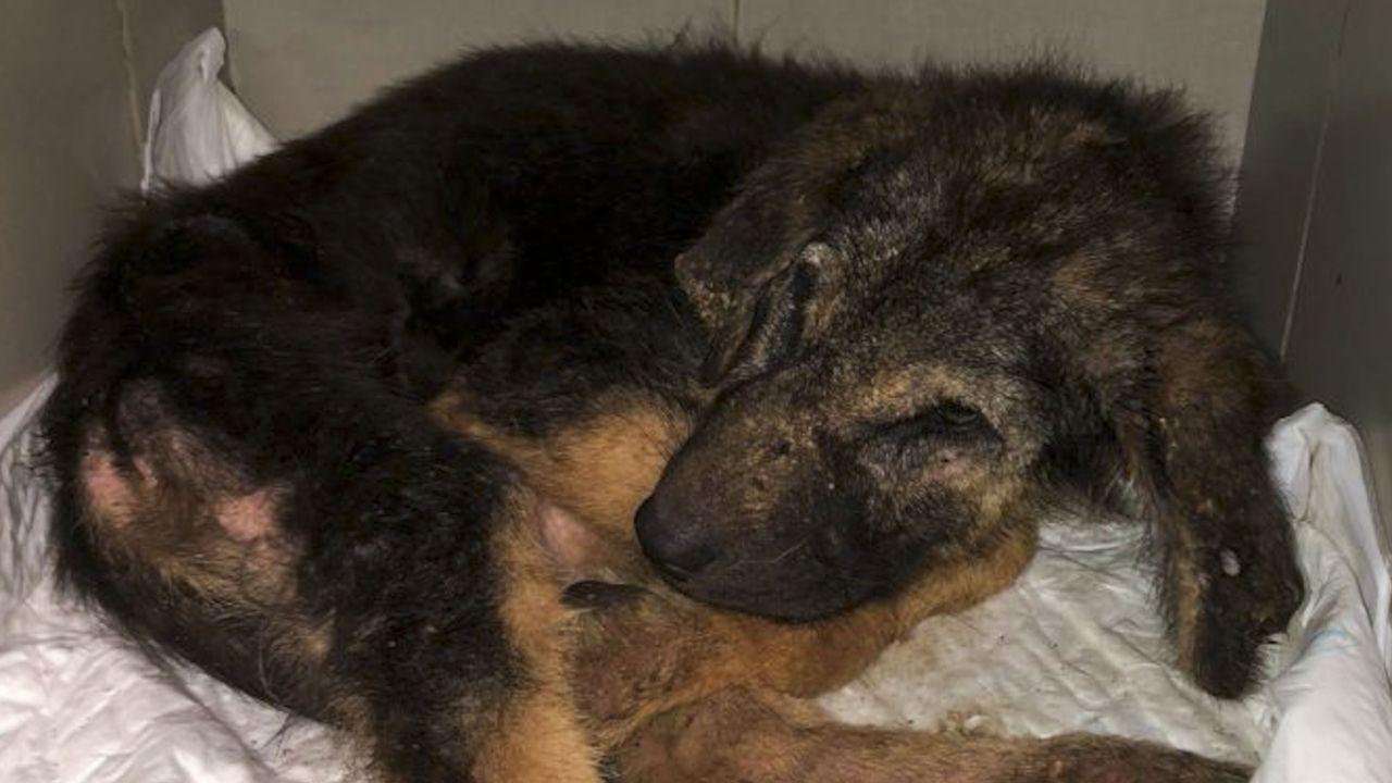 Uno de los animales -dieciocho en total- que fueron incautados en la localidad de Gomesende por la Consellería de Medio Ambiente